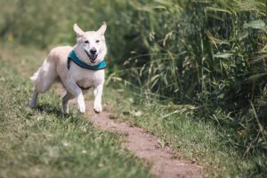 A white dog running