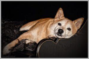 The most popular dog in Japan Shiba Inu