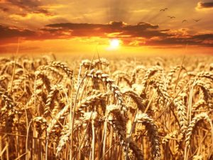 Fields of wheat under a sun.