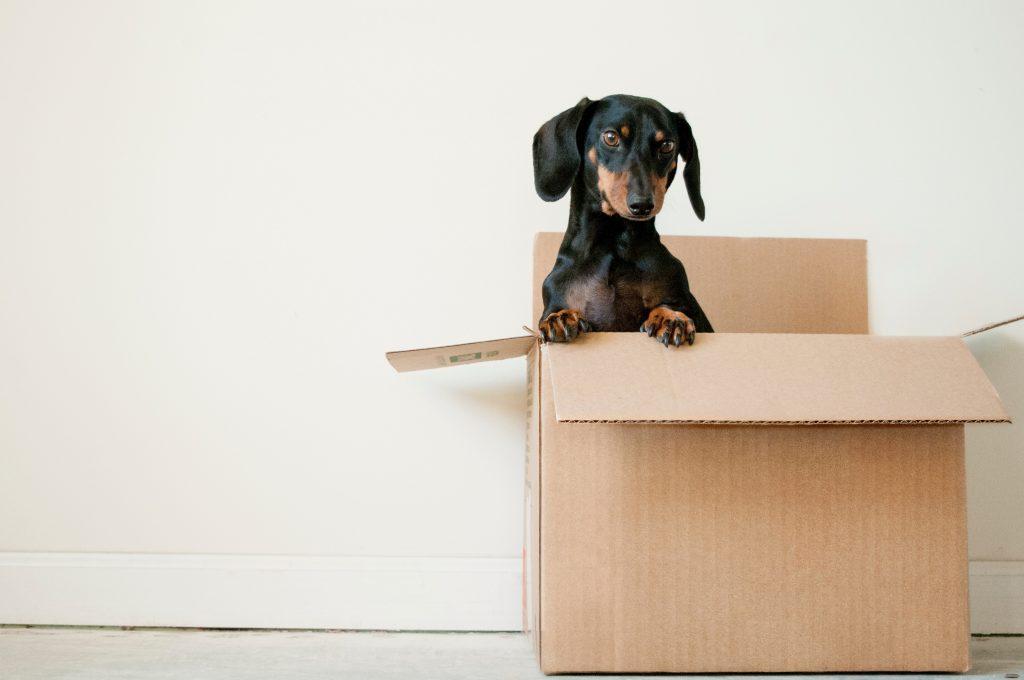 dachshund in a box